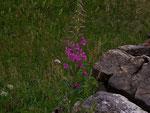Epilobium angustifolium (Schmalblättriges Weidenröschen) / Onograceae