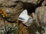 Pontia callidice (Alpenweissling, Männchen) / CH VS VS Brig, Simplonpass, Rothwald, Moss 2130 m, 09. 08. 2019