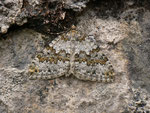 Entephria infidaria (Winkelzahl-Gebirgs-Blattspanner) / CH BE Hasliberg 1070 n, 05. 07. 2014