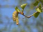 Betula pendula (Birke) / Betulaceae