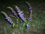 Salvia pratensis (Salbei) / LAMIACEAE