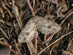 Ectropis crepuscularia (Rinden-Zackenbindenspanner) / CH BE Hasliberg 1150 m, 01. 05. 2013