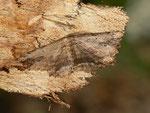 Menophra abruptaria (Lederbrauner Rindenspanner, Männchen) / CH BE Hasliberg 1050 m, 11. 04. 2016
