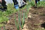 3月のネギがもうこんなになります。土寄せと追肥。