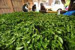 運び込まれた茶葉の選別は、気を抜くと茶が醗酵しはじめるので大変、すぐに工場へ。