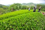 お茶づくりに適した山並み。ちょっと曇った茶摘み日和。