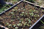 秋野菜の仕込み・これはブロッコリー