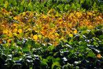 秋になって葉が黄色くなり、枯れてきれいに落ちるまで大豆を熟させます。