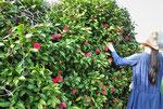 最後に椿の花も摘みました。こちらはニスタオグノラさんが工房で染めてくださいました。