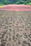 逆サイドから、鳥よけネットが足りなくてテグスを張っただけの箇所です。幸い、無事なり。ここの畑にはカラスの夫婦が十年以上居ついているので、しっかり防がないと大変なことになります。