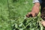 ラッカセイがそろそろ収穫。マメ科の根粒菌の具合を観察。
