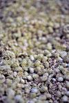 収獲ののち、麹菌のチカラでもろみになりつつある津久井大豆です。ほんのりと大豆の甘い香り。醤油への第一歩