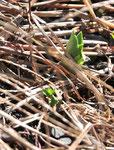 ソラマメも芽を出して春に備えます。