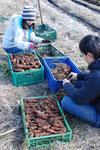 こちらも「さとやま農学校1期」の最終月です。ニンジンの収穫。たっぷりとれました。