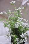 パクチーの花。これに限らず、今はニンジン以外のセリ科の花盛り。セルフィユもディルも柔らかく花を香らせています。