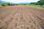 7月4日の畑の様子。種まきが6月25日(日)から8日目。雨も多く振ったのでいい感じです。