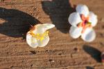 梅が咲きだします。この花を使って練り香やあれこれを作りました。花をめでるワークショップの愉しいこと。