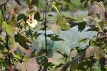 棉の花。オクラと同じアオイ科の清楚な花です。