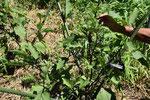 ナスの選定と整枝。内側に光があたるように。のびのびと育てます。ナスの花で栄養の具合も見ます。