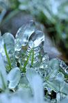 冬になると凍る水辺の草。これでもしっかり生きています。