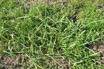 ニンニク。木枯らしをよけるために、もっと敷き草を重ねます。