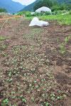 こちらは予備の補植用の苗床。6月29日(木)にまきました。これを7月9日には、いま欠株の出ているところに移植します。
