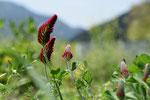 クリムゾンクローバー。緑肥にも蜜源にもなる、大事なメンバーです。