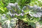 こぼれ種のからし菜。いろいろなバリエーションができるので、そこからまた選抜して種取りをします