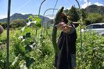 在来種の四葉(スーヨウ)キュウリの収穫。普通のキュウリよりも大きくてゴツゴツしているのですが、この食感がたまらない。もう何年も種取を続けています。