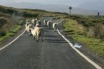 Die Schafe waren von uns und unserem Auto wenig beeindruckt. Wir mussten warte, bis sie gemächlich auf die Wiese getrottet waren.