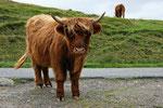 Die schottischen Hochlandrinder standen mitten auf der schmalen Straße und hinderten uns am weiterfahren.