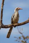 Rotschnabeltoko (Tockus erythrorhynchus) / Red-billed Hornbill