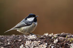 Tannenmeise (Periparus ater, Syn. Parus ater)