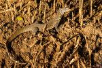 Nilwaran (Varanus niloticus) / Nile monitor