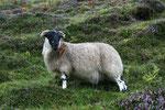 Schottlands Schafe laufen frei herum und sind nicht dumm ! Sobald ein Auto angefahren kommt gehen sie genau soviel zur Seite wie nötig ist, um nicht überfahren zu werden. Von fotografierenden Touristen zeigen sie sich wenig beeindruckt.