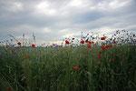 Blumenfeld nahe Nobbin.