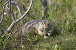 Arktisches Ziesel (Spermophilus parryii), auch Arktisches Erdhörnchen