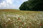 Eines der vielen schönen Blumenfelder auf Rügen.