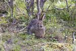 Schneeschuhhase (engl. Snowshoe Hare, Lepus americanus)
