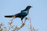 Riesenglanzstar (Lamprotornis australis) / Burchell's Glossy-starling