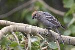 Hakengimpel (engl. Pine Grosbeak, Pinicola enucleator)