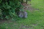 Kaninchenfamilie neben der Benediktinerabtei in Fort Augustus. Die Kaninchen hatten wenig Angst vor uns, waren jedoch stets vorsichtig.