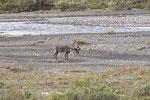 Rentier / Karibu, engl. reindeer (Rangifer tarandus), auch bekannt als caribou in Nordamerika.