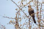 Grauer Lärmvogel (Corythaixoides concolor) / Grey Go-away-bird
