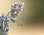 Silbergrüner Bläuling (Polyommatus coridon) / Chalkhill Blue