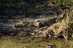 Nilkrokodil (Crocodylus niloticus) / Nile crocodile