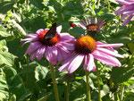 Echinacea ein Schmetterlingsmagnet