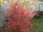 Japanischer Fächerahorn im Herbst