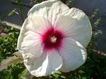 Rieseneibisch Blüte 40 cm