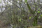 Weißdorn, die ersten grünen Triebe bereits im Februar.      Foto: Josef Taphorn